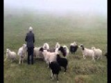 Sheep Rush Through The Dense Fog To Find The Calling Shepherd !