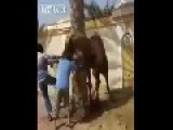 Sacrificing Camel Gone Wrong LOL Stupid Arabs
