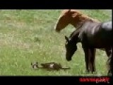 Stallion Killed Newborn Foal * Graphic *