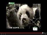 Scientists Are Requested By A Wild Panda Mother To Babysit Her Son