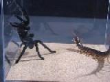 Thailand Black Tarantula VS Vietnam Giant Centipede