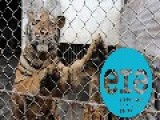 Tigers In China Massacred To Make Bone Wine | China Uncensored