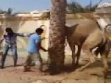 The Camel Revenge ** Graphic **