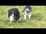 The Sneakiest Border Collie Ever