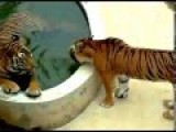 Tiger Enjoying Love Jacuzzi