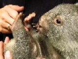 Tiny Orphaned Wombat Arrives At Sanctuary