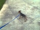 Tiny Yorkie Defends His Territory