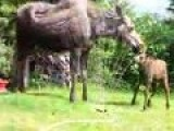 Twin Baby Moose In Sprinkler