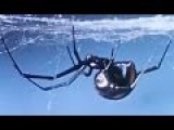 The Black Widow Spider