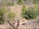 Two Lions Catch And Eat Warthog In South Africa