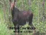 Truck Vs Moose Canada
