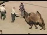Two People Trampled To Death By Camel At Texas Farm