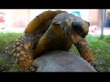 Tortoises Mating