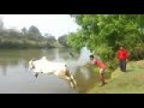 This Bull Dive & Swim Better Than Human
