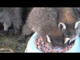 This Raccoon Really Loves Milk