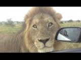 Top 5 Close Encounters With Lions In Kruger NP