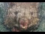 Two Fishermen Have Netted Perhaps The Most Unusual Catch Of All Time...A Wombat!