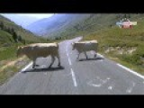 Tour De France Disturbs Cows In Their Natural Habitat