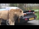 The Lion Likes The Taste Of Cars Or Is He Just Trying To Open The Can?