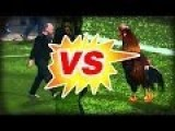 The Battle Between The Rooster And The Security Guard - Funny!