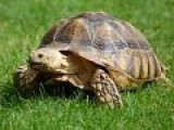 Tortoise Chasing Best Friend Terrier Is An Online Sensation