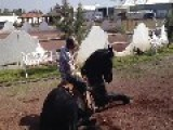 Talented Trained Dancing Horse