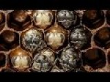 Time Lapse Of Bees Growing And Hatching