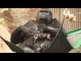 Twenty Four Year Old Gorilla Unexpectedly Gives Birth