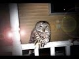Trying To Save A Baby Barred Owl