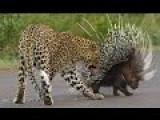 The Fight Kruger Leopard Vs Porcupine ,, Who's The Winner ???