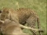 The Wonderful Leopard Double Killed In One Time