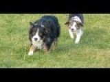 The Collie Walk. Dog Attempts Attack On His Brother