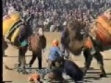 Traditional Turkish Camel Wrestling Turkey