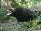 Think Honey Badgers Are The Baddest, Think Again