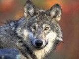 US Hunter 'shoots Dead' Historic First Grey Wolf Seen In Grand Canyon For 70 Years