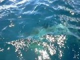 Up Close And Personal With A Great White