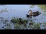 Vicious Louisiana Water Fowl