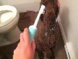 Virgil The Poodle Gets Very Excited By A Toothbrush