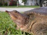 Victor Bomber Soft Shelled Turtle