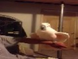 Very Funny Cockatoo