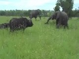 What Happens When An Elephant Kicks A Buffalo In The Head??