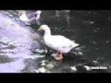 White Lion Scares Ducks With Powerful Roaring