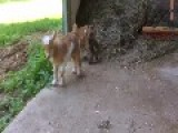 Week-Old Goat Kids Take On A Barn Cat