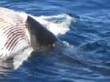 White Shark Whale Eats