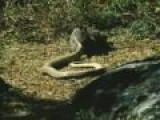 Weasel Vs King Cobra, Great Fight, Scene From Rikki Tikki Tavvy. Long Live The Weasel