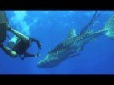Whale Shark Rescue On The 24 - 02 - 2014 At Koh Tachai Pinnacle In Thailand