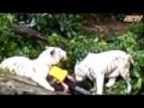 White Tiger Attack At Singapore Zoolatest Edited