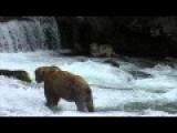 Wolf Catches Salmon
