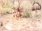 Wild Dogs Eat Baby Wildebeest Alive Without Mercy