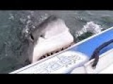 White Shark Gives An Inflatable Boat A Bite